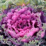ornamental kapuściane menchie Obrazy Stock