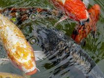 Ornamental koi carp fish Royalty Free Stock Images