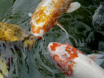 Ornamental koi carp fish Stock Photos