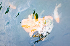 Ornamental koi fish. A species of carp bred for their colours, swimming underwater in an outdoor pond Stock Photo
