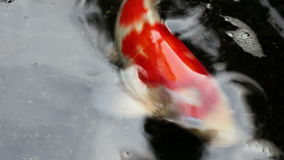 Ornamental Koi fishes swim in the shade of pond stock video footage