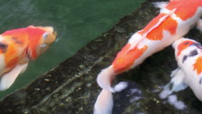 Ornamental Koi fishes swim in stone floor pond stock video footage