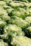 Ornamental leaved Kale (Brassica Oleracea) Stock Photos