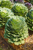 Ornamental leaved Kale Stock Photography