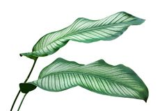 Ornamental Leaves of Pin Stripe Calathea Plant Isolated on White Background. Ornamental Leaves of Tropical Pin Stripe Calathea Plant Isolated on White Background royalty free stock photos