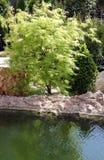 Ornamental maple trees Stock Image