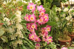 Ornamental mit bunten Orchideen im Garten lizenzfreie stockfotografie