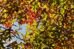 Ornamental oak tree leaves against sky Stock Photo