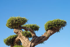 Ornamental olive tree Royalty Free Stock Image