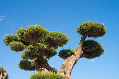 Ornamental olive tree Stock Image