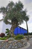 Ornamental olive tree stock photo