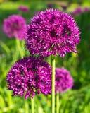 Ornamental onion, allium. Multiple allium flowers in full bloom Stock Images