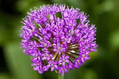 Ornamental Onion (Allium) Stock Photo