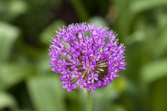 Ornamental Onion (Allium) Royalty Free Stock Photos