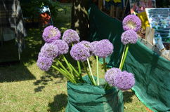Ornamental Onion (Allium giganteum) Stock Photo