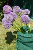 Ornamental Onion (Allium giganteum) Royalty Free Stock Photo