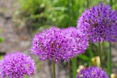 Ornamental onion Allium, purple flower balls Royalty Free Stock Images
