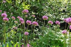 Ornamental onion Allium, purple flower balls Royalty Free Stock Image