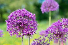 Ornamental onion flowers Stock Photo