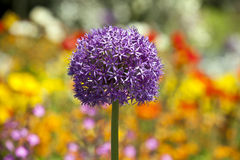 Ornamental onions Royalty Free Stock Image