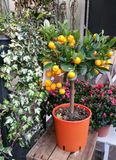 Ornamental orange plant. Ornamental orange tree plant with small oranges in orange plantpot surrounded by green and pink plants displayed in front of florist Stock Photo
