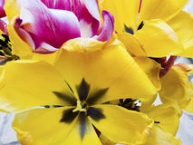 Ornamental orangey-yellow tulips Stock Photos