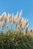 Ornamental pampas grass against blue sky Royalty Free Stock Photography