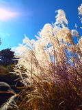 Ornamental pampas grass glowing in full afternoon sunlight. Closeup soft focus effect on golden yellow feathery tops of prairie grasses backlit by sun beams in royalty free stock images