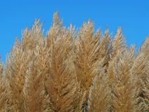 Ornamental pampas grass seed heads. In a garden against a clear blue sky stock photos