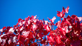 Ornamental pear leaves Royalty Free Stock Images
