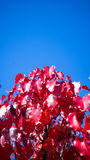 Ornamental pear leaves Royalty Free Stock Photography