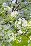 Ornamental Pear Tree Blooming Stock Photography