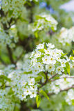 Ornamental Pear Tree Blooms Stock Photography