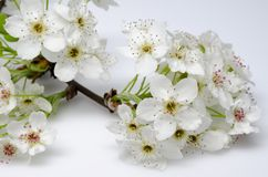 Ornamental Pear Tree Blossoms Royalty Free Stock Images