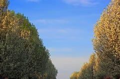 Flowering Pear Tree. Ornamental  Flowering Pear Tree in spring with blue sky Royalty Free Stock Images