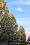 Ornamental Pear Trees Royalty Free Stock Image