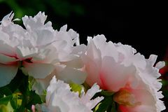 Peony. Ornamental peony is a perennial deciduous shrub. & x22;Its cultivation began in the Sui Dynasty, flourishing in the Tang Dynasty and in the Song Dynasty royalty free stock images