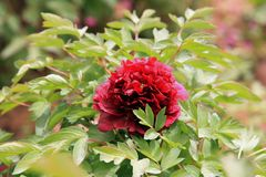 "Peony. Ornamental peony is a perennial deciduous shrub. ""Its cultivation began in the Sui Dynasty, flourishing in the Tang Dynasty and in the Song Dynasty royalty free stock photography"