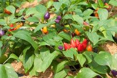 Ornamental Pepper Stock Image