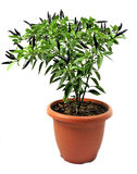 Ornamental pepper grown in pots   on white Stock Image