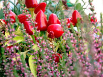 Ornamental pepper, and Heather royalty free stock images