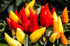 Ornamental pepper Royalty Free Stock Photos