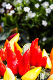 Ornamental pepper Royalty Free Stock Photo