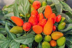 Ornamental peppers Stock Photography
