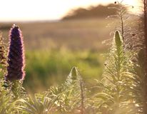 Beautiful purple blooms of Echium Candicans, backlit. royalty free stock photos