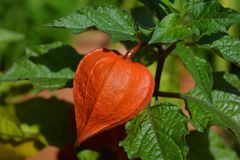 Ornamental Physalis, Physalis alkekengi, close-up stock photos