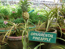 Ornamental pineapple. Every pineapple no matter what its size comes with green hair.  But in most cases the fruit (pulp) is bigger than the green hair.  Not in Royalty Free Stock Photo
