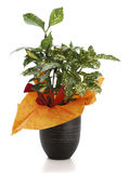 Ornamental Plant aucuba. Ornamental Plants over white background Royalty Free Stock Image