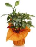 Ornamental Plant aucuba. Ornamental Plants over white background Stock Photos