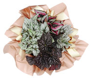 Ornamental Plant begonia. Ornamental Plants over white background Royalty Free Stock Photo